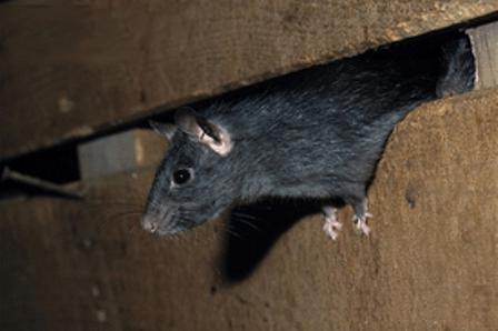 Rat & Mouse