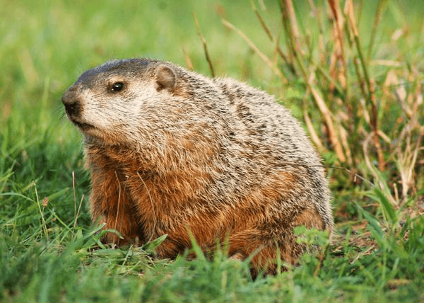 groundhog_small
