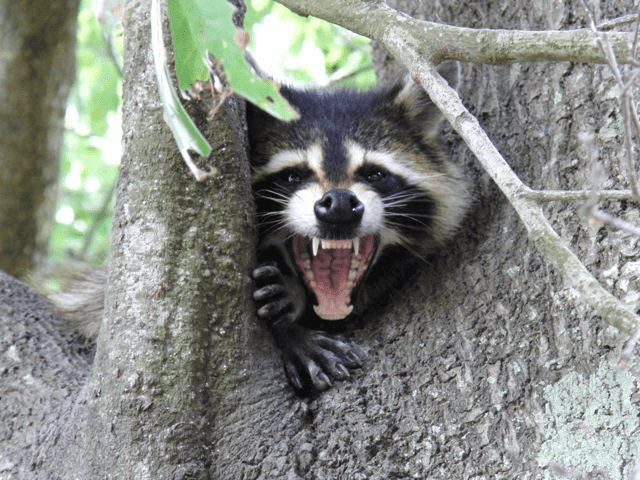 raccoon removal_small